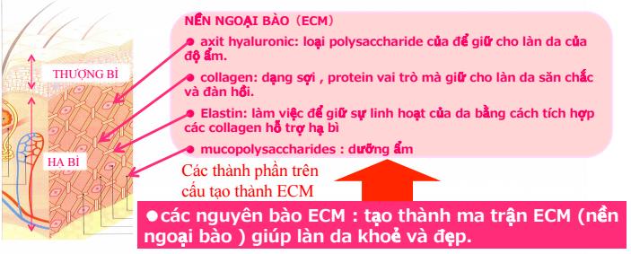 Vai trò của nền ngoại bào ECM